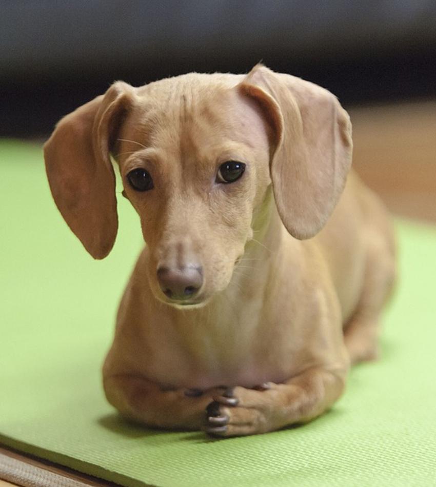 depressed-dachshund