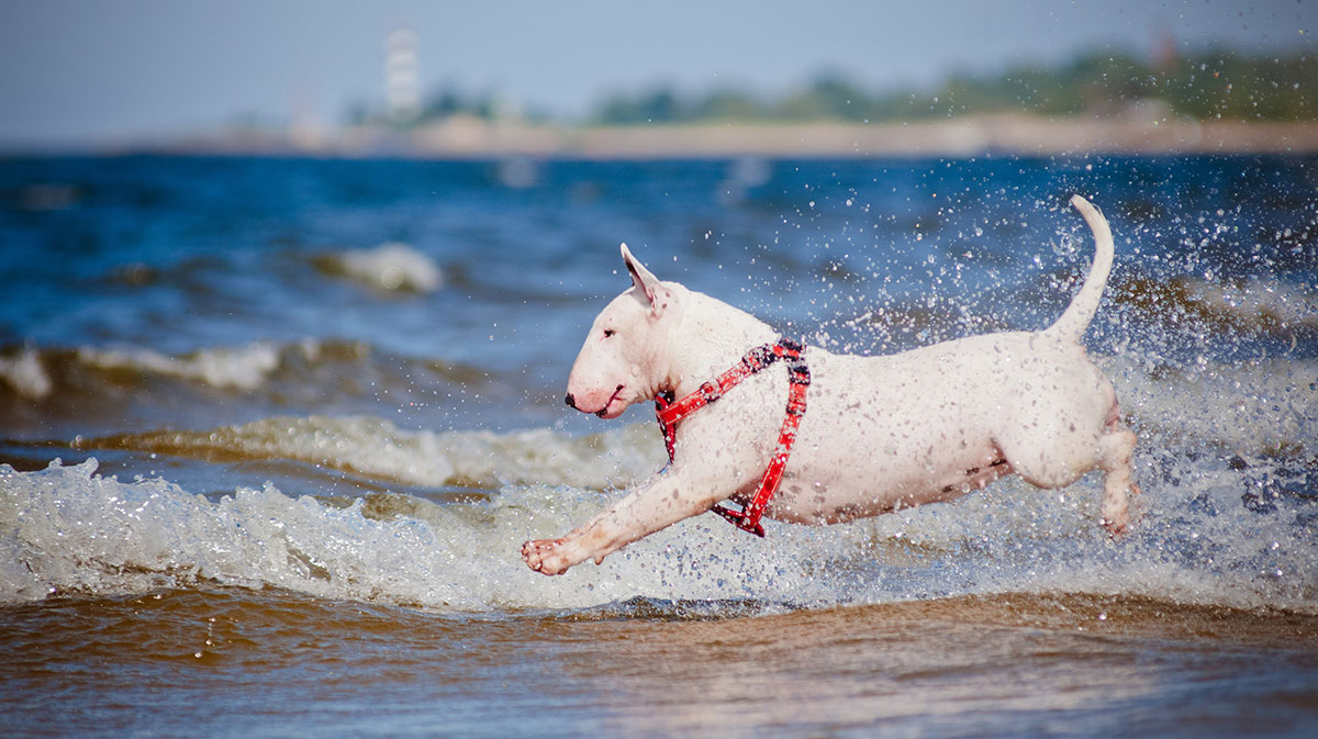 dog-harness-bull-terrier