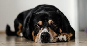 Dog Depression