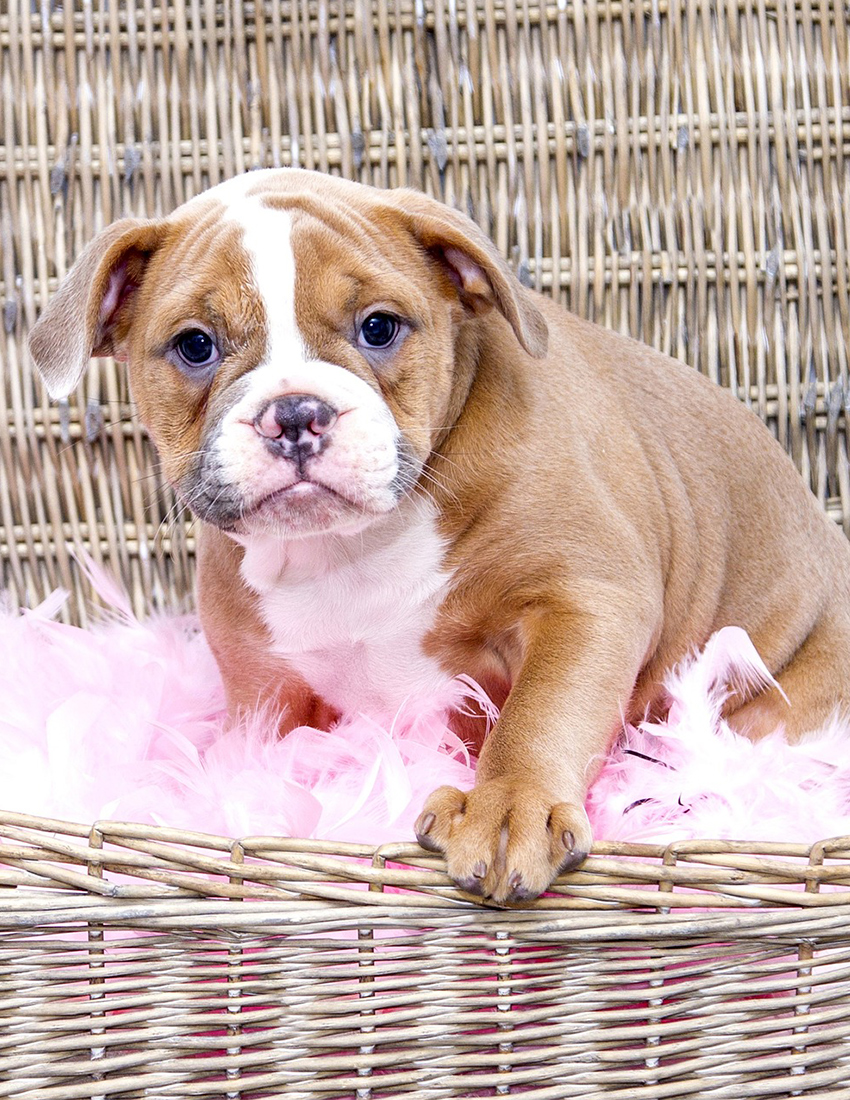 English Bulldog Breed A Complete Guide