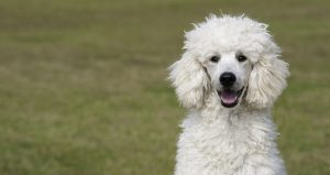 The Standard Poodle