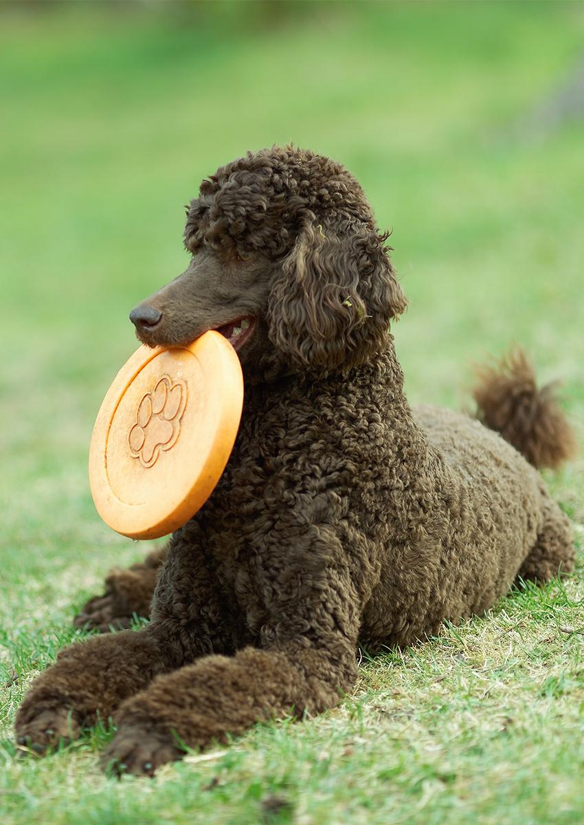 black standard poodle, Saint Berdoodle