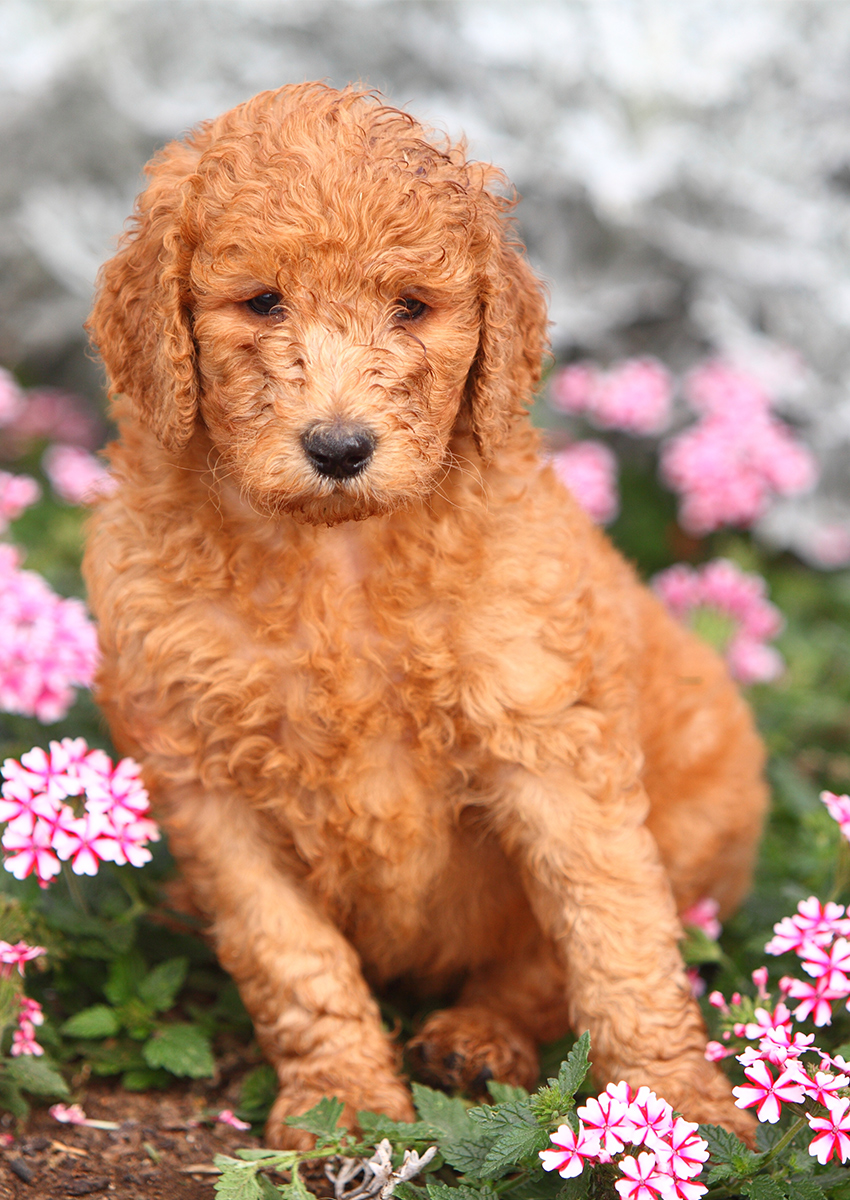 Standard Poodle Dog Breed Information Center