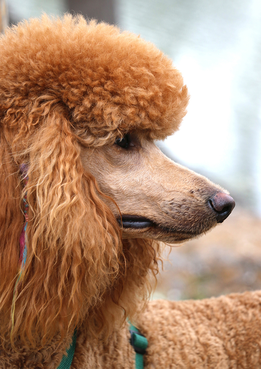 red standard poodle