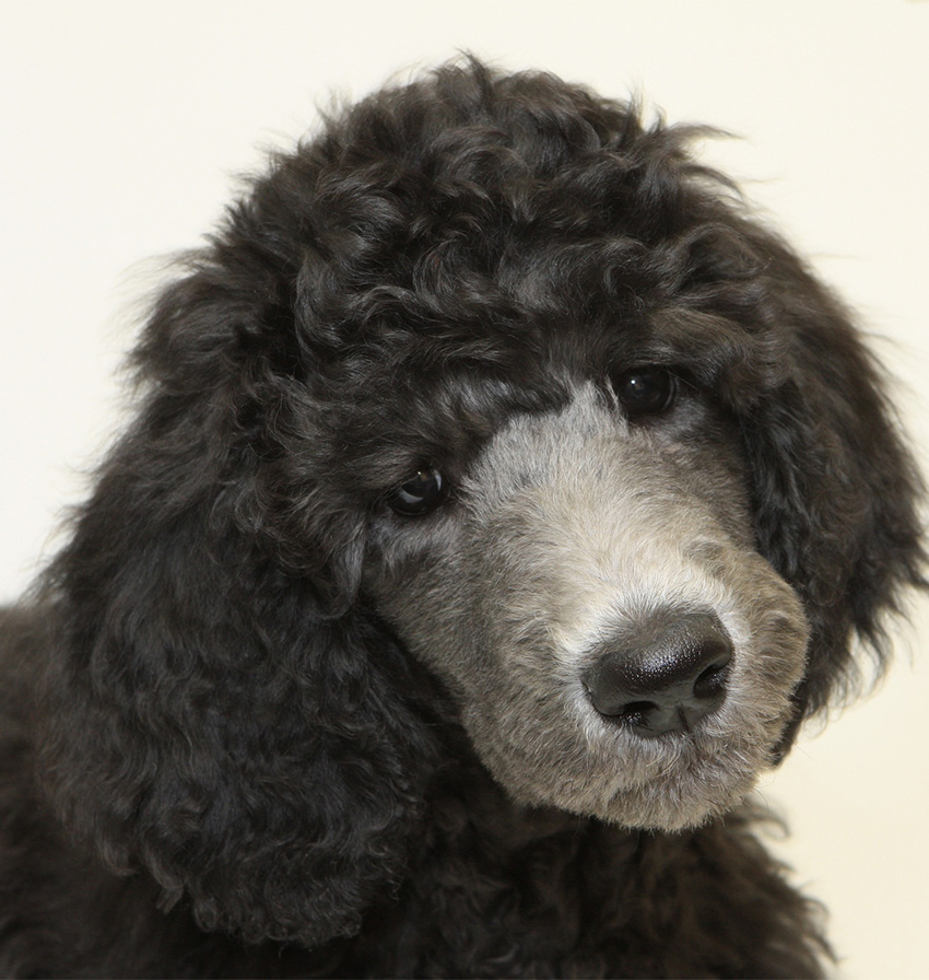 black and grey standard poodle