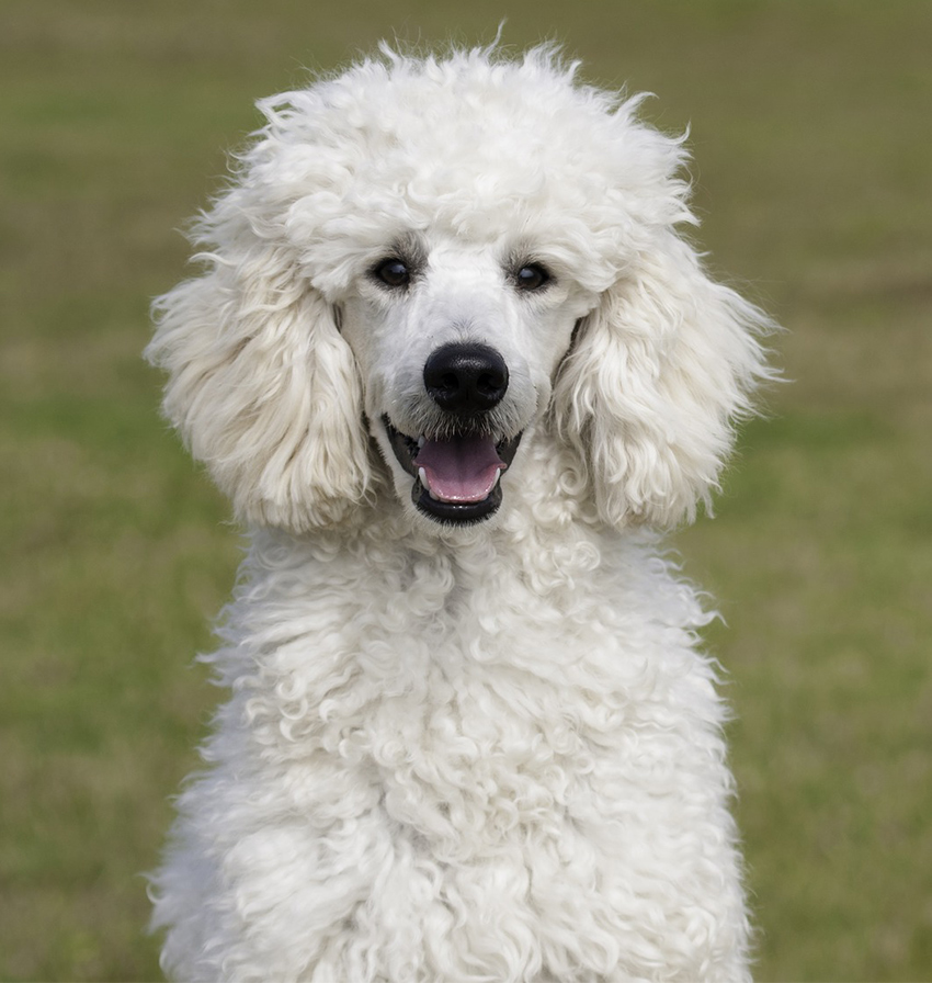 Standard Poodle Dog Breed Information