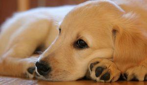 Von Willebrand Disease In Dogs