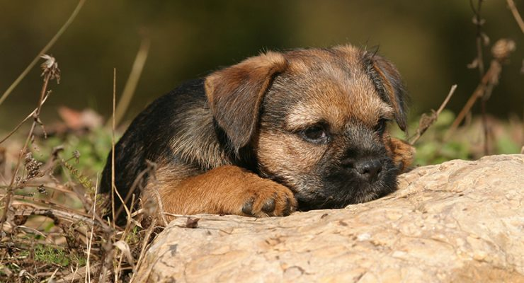 Border Terrier – A Complete Guide