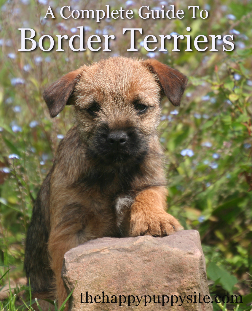An in-depth review and guide to the wonderful Border Terrier breed of dog