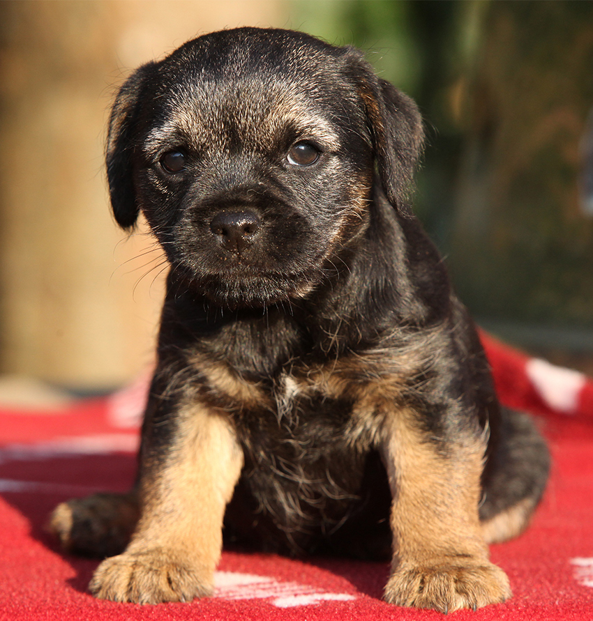 pet border terrier