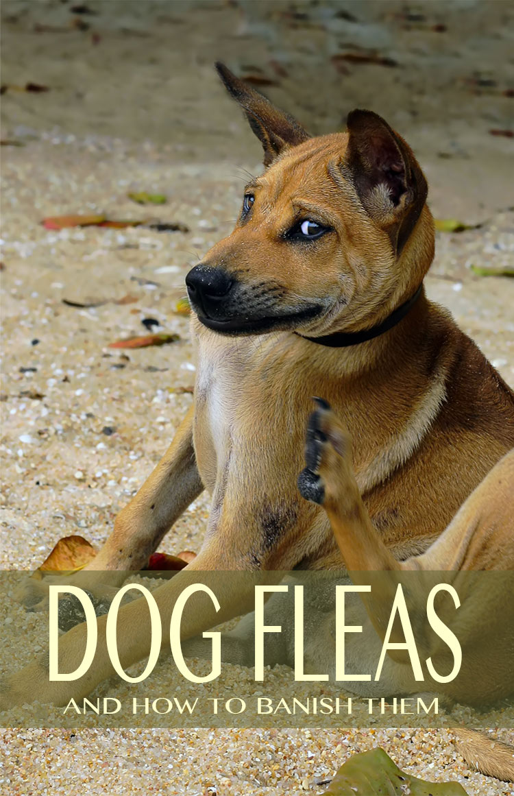 Find out how to banish dog fleas from your dog, your home, and your life