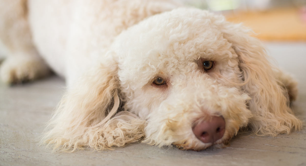 Hypoallergenic Dogs - The Facts About Non-Shedding Breeds