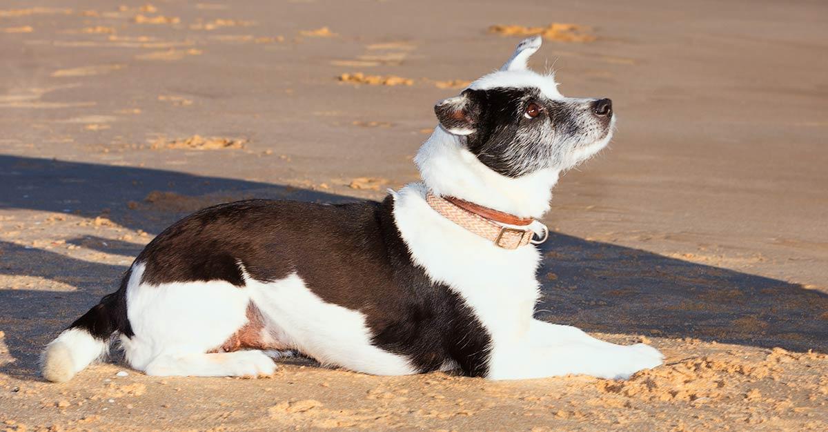 teach-dog-lay-down