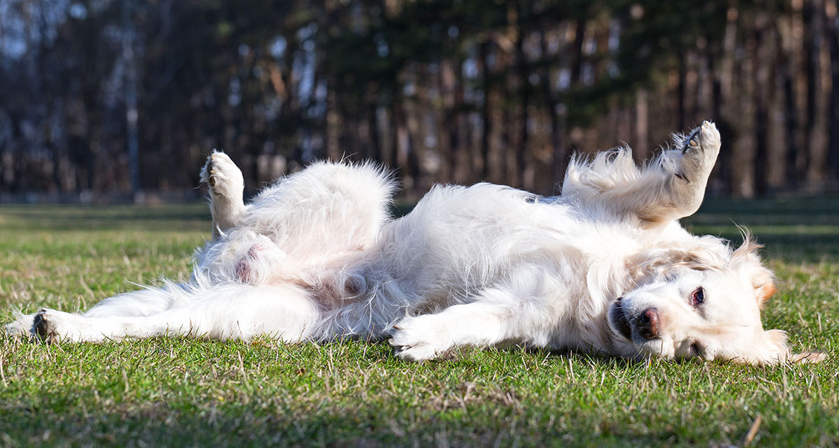 Why do dogs roll in grass - is it to cover up the smell of shampoo!