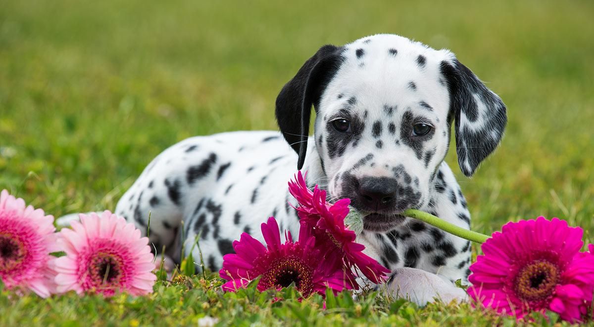 dalmatian-puppy