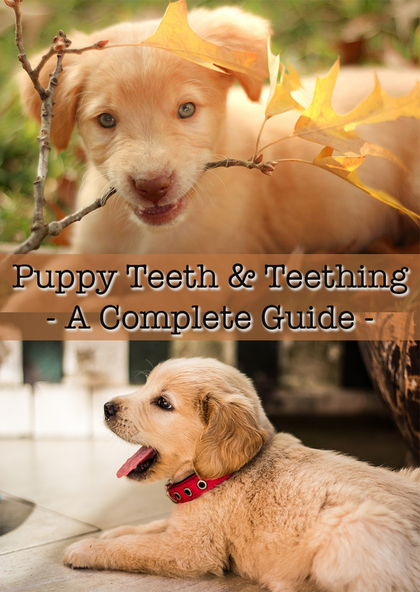 Puppy Teeth & Teething, including how many teeth do dogs have.