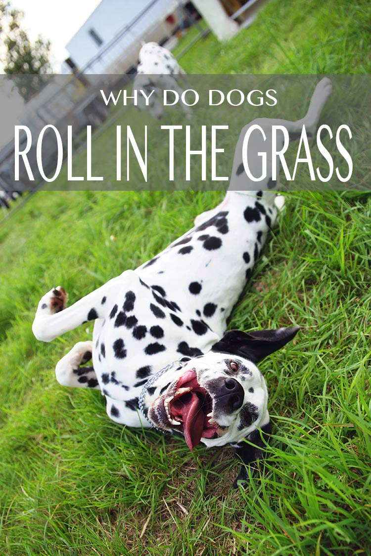 Is it for fun?  To relieve an itch? Just why do dogs roll in the grass?  We investigate!