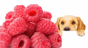 Can Dogs Eat Raspberries – A Complete Guide To Raspberries For Dogs