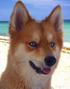 Pomsky dogs can often look very fox like