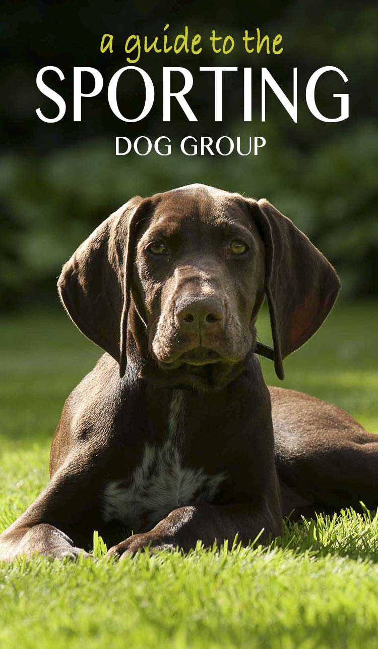 Bird hunting dogs like this GSP puppy are part of the sporting dog group