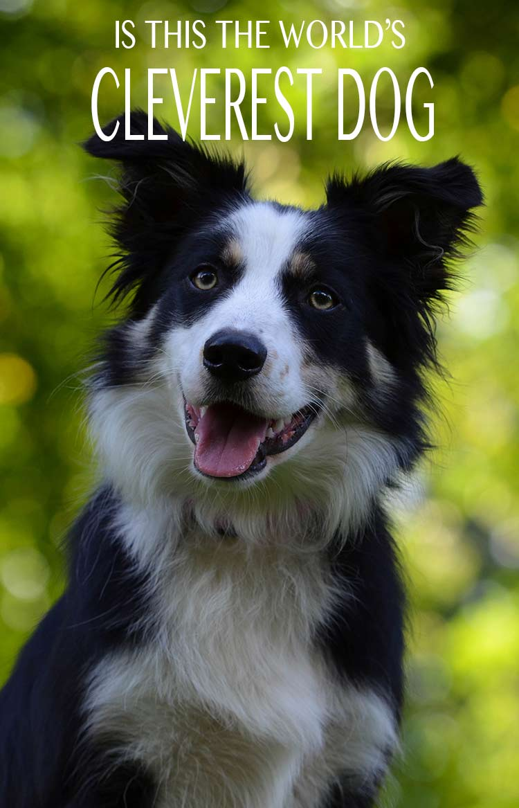 Is this the world's cleverest dog? We look at amazing dog records and achievements