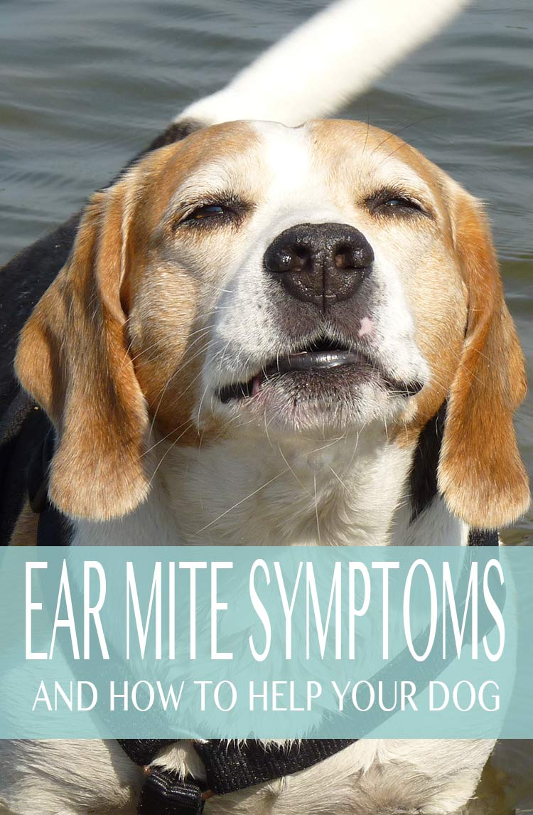 How to recognize the symptoms of dog ear mites