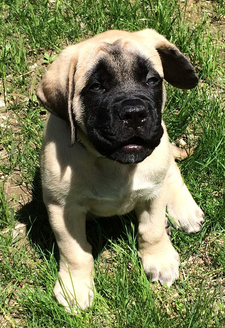 Heaviest dog breeds - this English Mastiff puppy is one of the biggest dogs