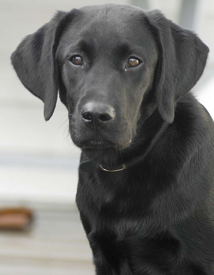 working type Labrador Retrievers make good hunting dogs