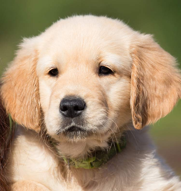 The Golden Retriever is one of our most popular gun dog breeds