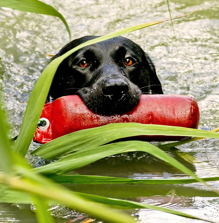 Many Labrador Retrievers make both the best hunting dogs and the best family pets