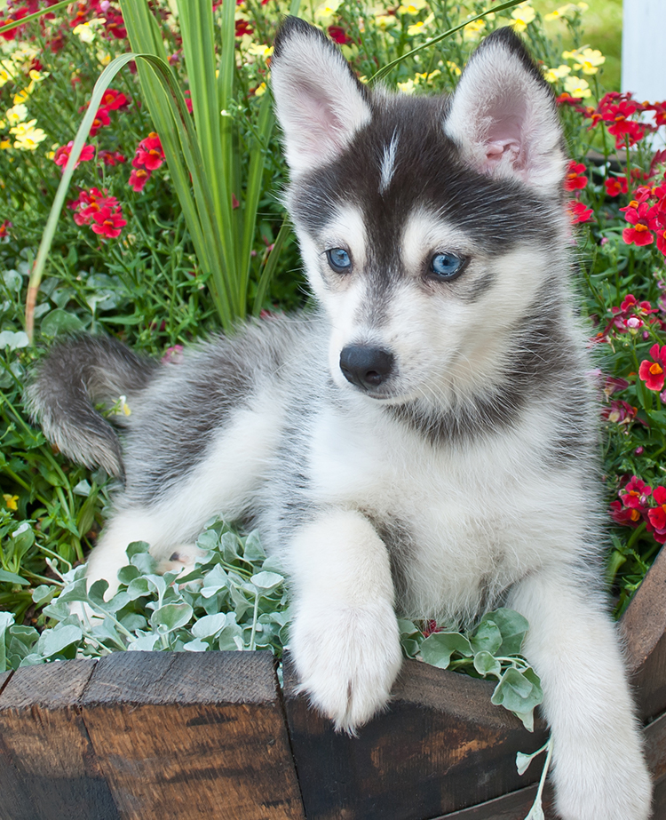 When this pup is a full grown pomsky he will still a smaller version of his husky mother
