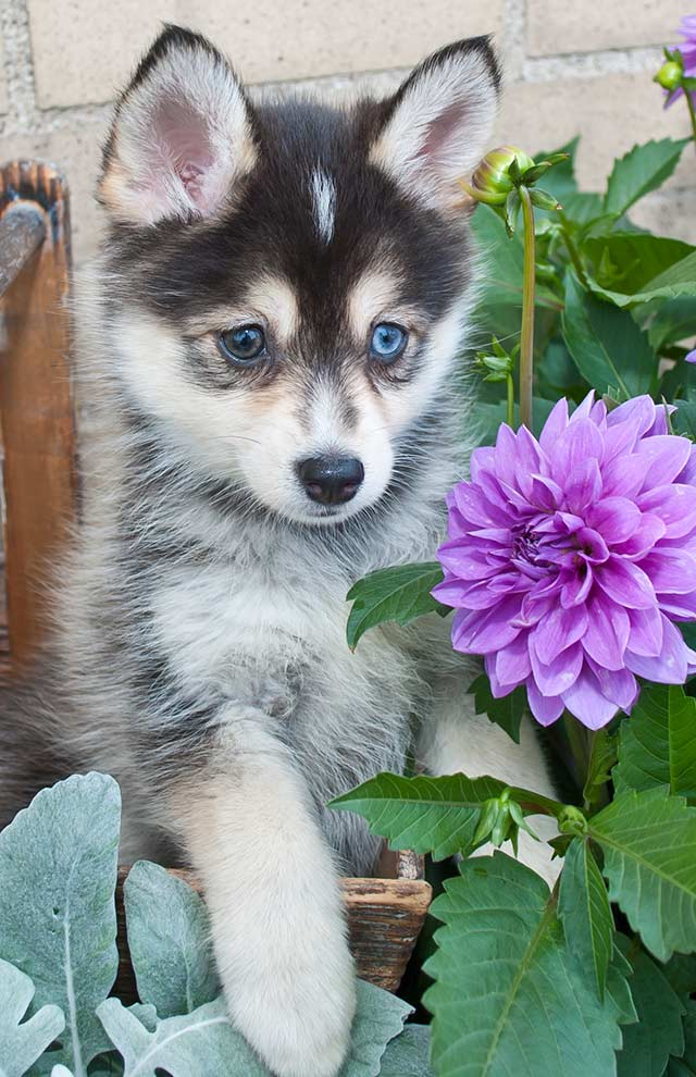 Find out why everyone is talking about the Pomsky