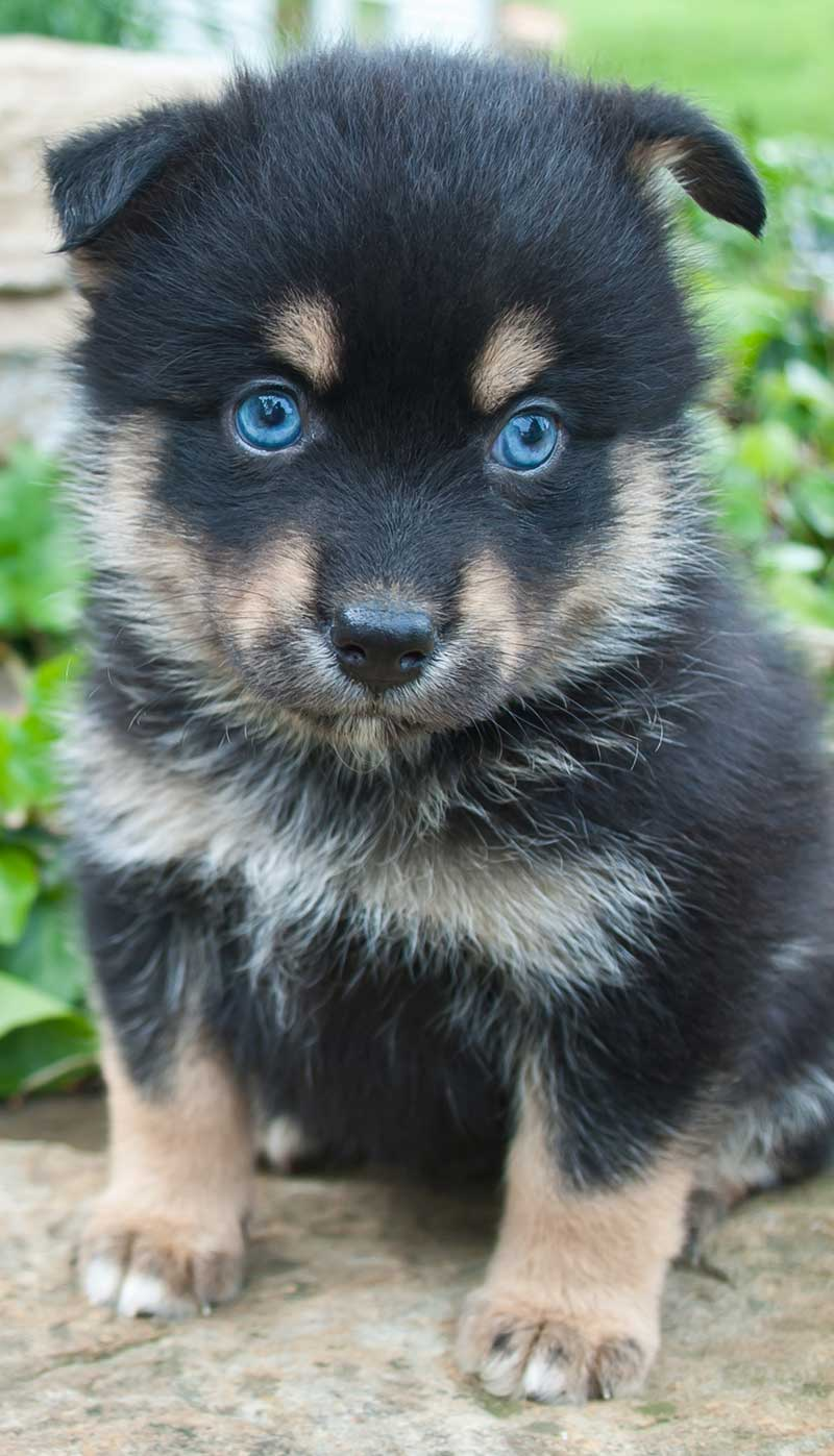 This pomsky pup looks more husky than pomeranian