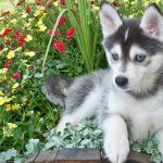 Pomsky Dog – Your Guide To Pomskies And Their Care