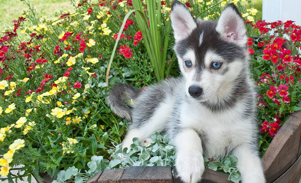 Dog Breed Pomeranian Husky