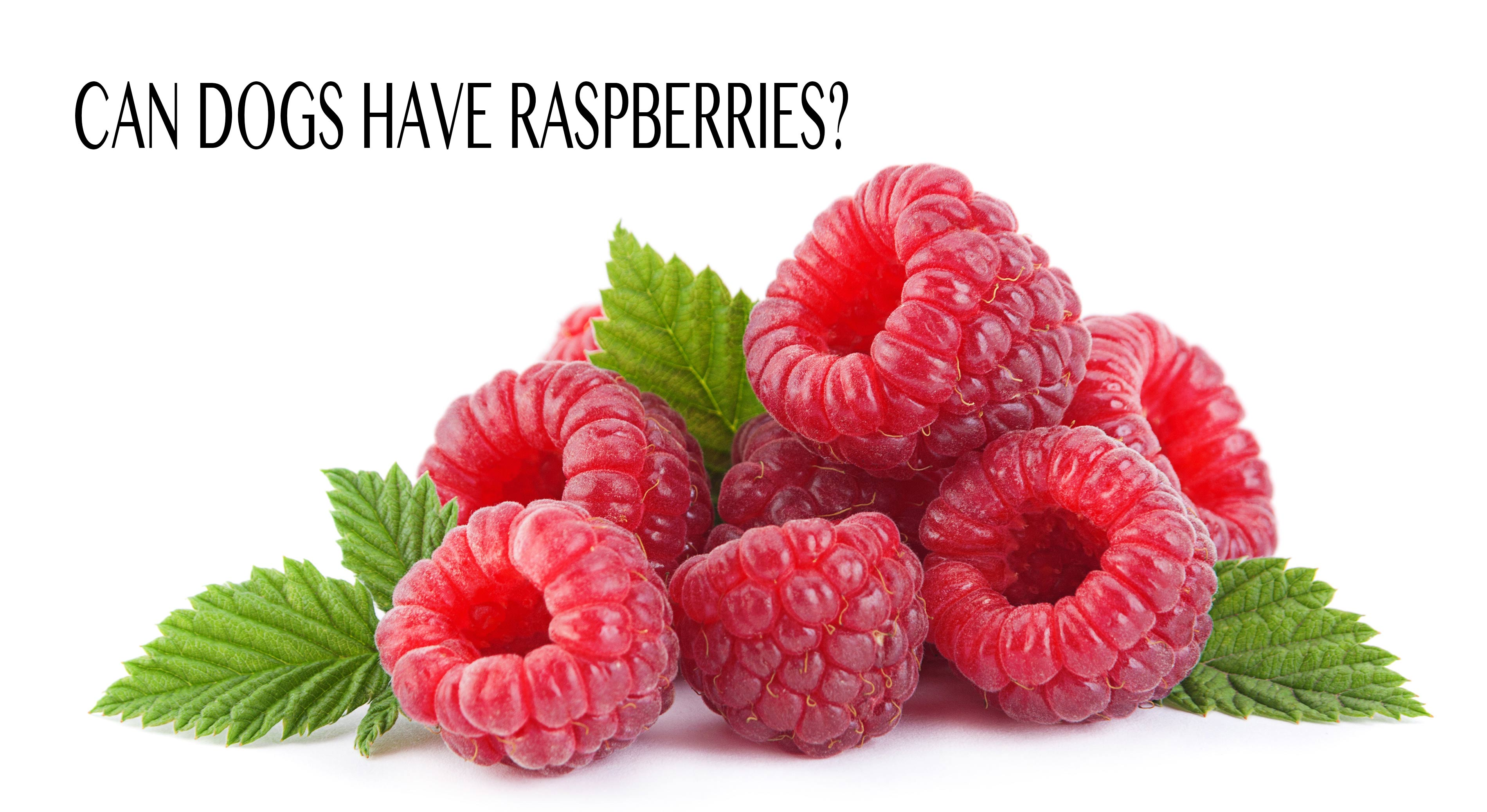 A pile of beautiful raspberries but can dogs have raspberries and are they safe?