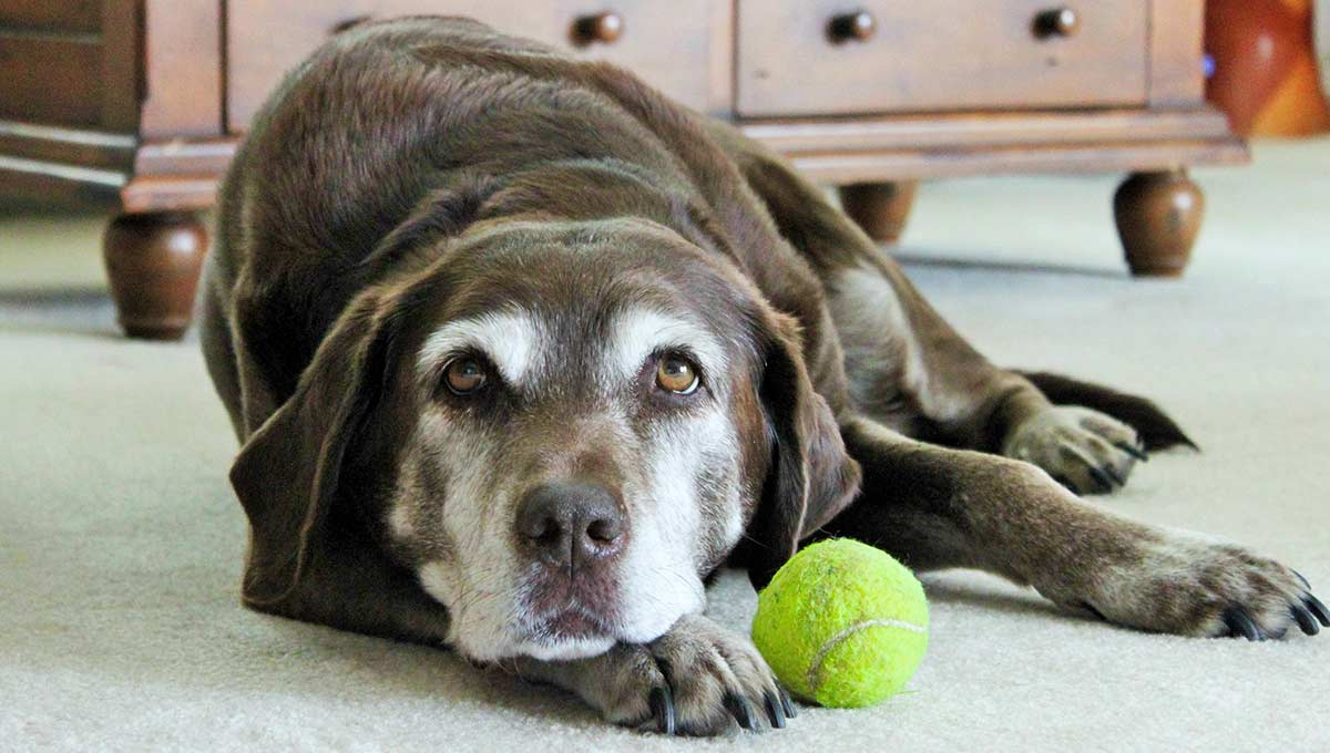 Sporting dog breeds are generally healthy and live well into old age