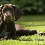 Sporting Dogs – A Guide To Hunting Dogs And Gun Dog Breeds