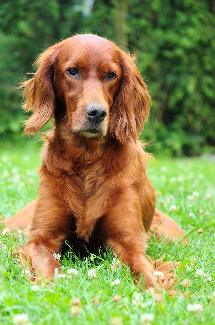 The Irish Setter is one of the most elegant and beautiful members of the Sporting Group