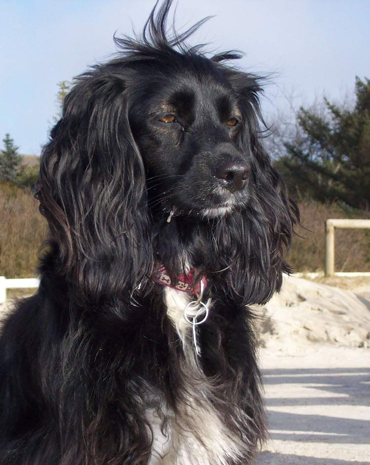The working strain of Cocker Spaniel is one of the most popular hunting dog breeds in the UK