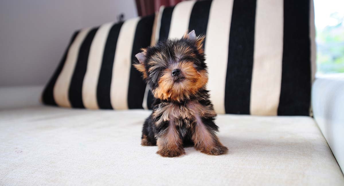 Teacup Yorkie A Guide To The World S Smallest Dog