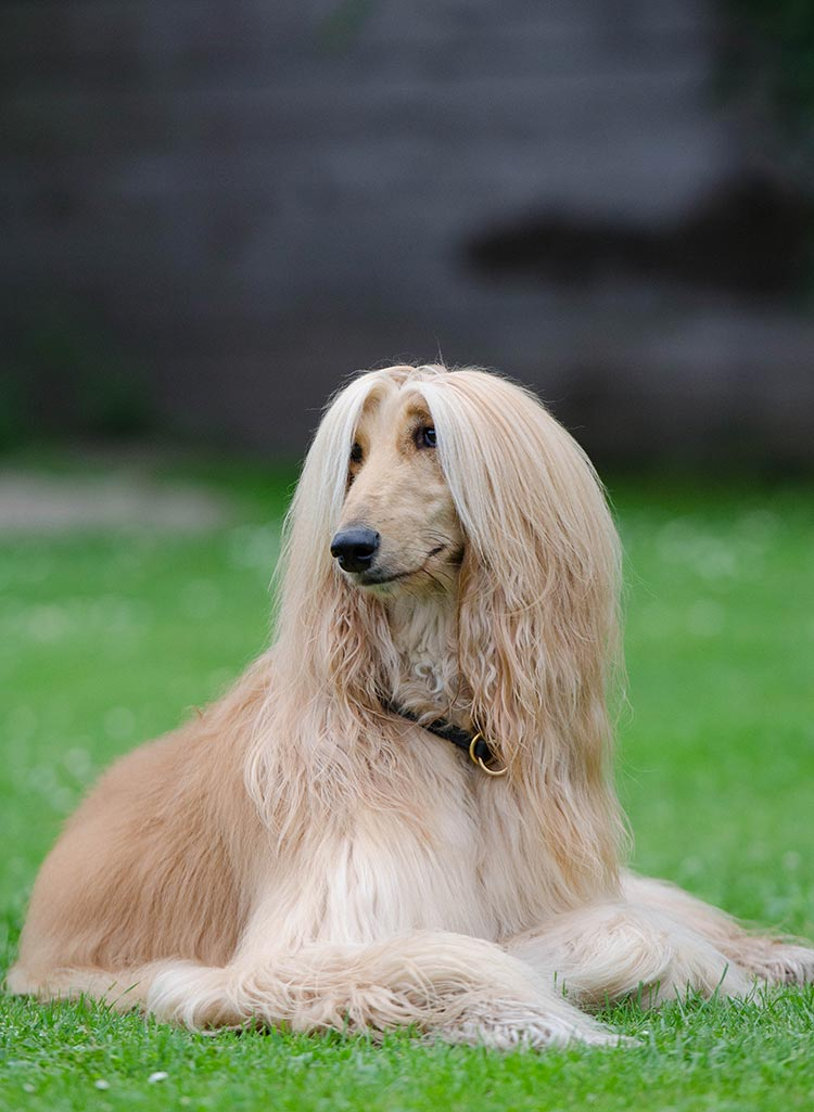 Find out if fungal infection in dogs is more common in long nose dogs like this afghan hound