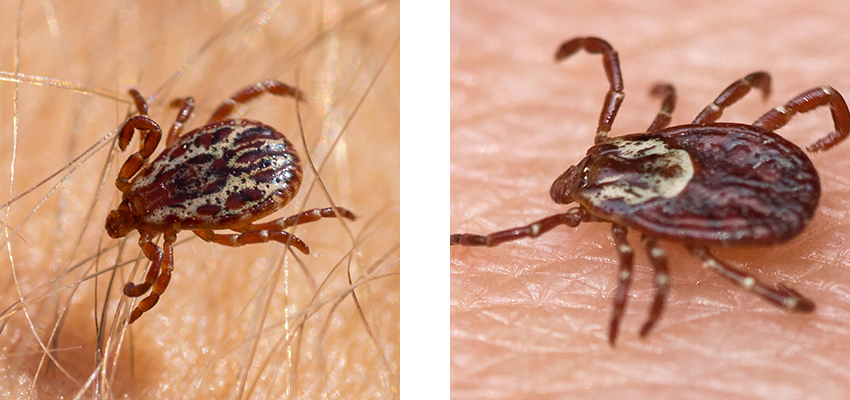 What do American Dog Ticks look like - identifying female and male American dog ticks by their color and pattern