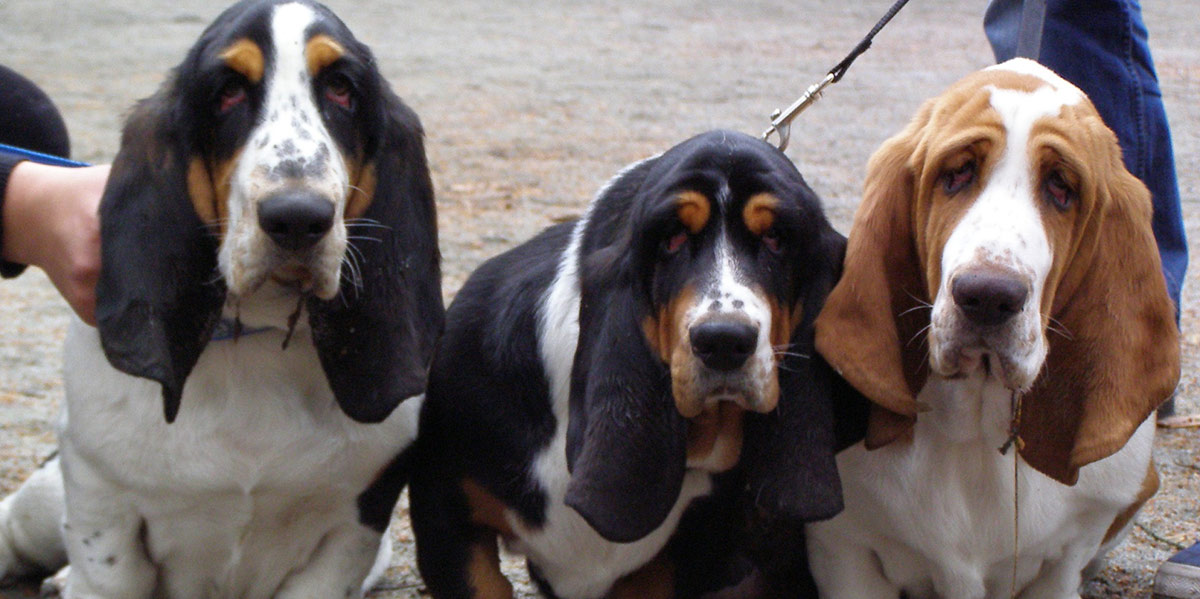 droopy face dogs like these basset hounds may get ectropion