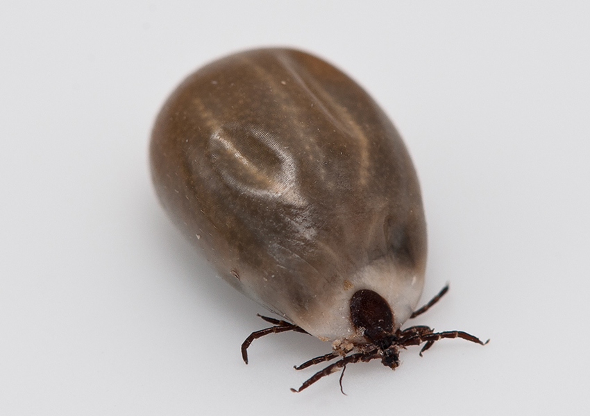 pictures of ticks - 850×600