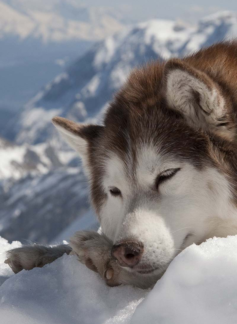 This lovely husky is asleep in the snow, but how much sleep do dogs need