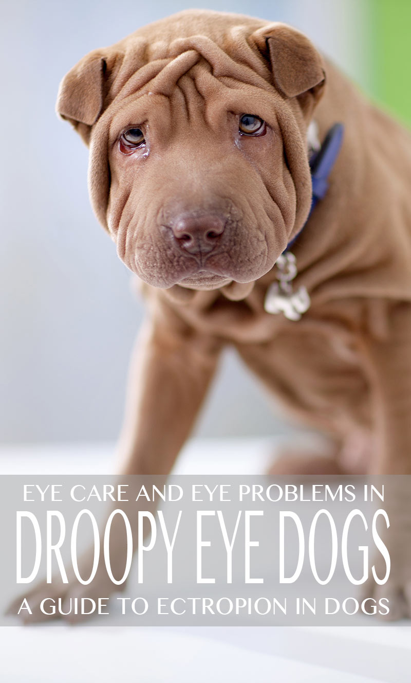 droopy eye dog breeds - a guide to ectropion