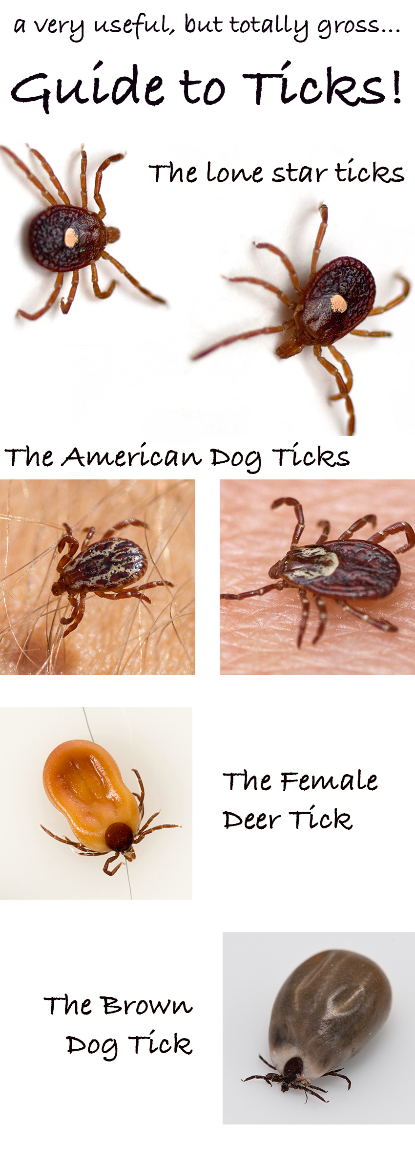 Pictures of ticks - A guide to identifying different tick breeds