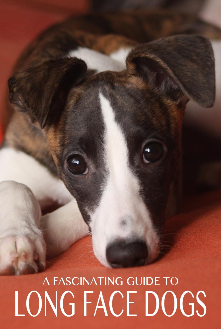 Long Face Dog - a fascinating guide to dolichocephaly and all its implications