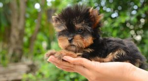Teacup Yorkie – The World's Smallest Dog